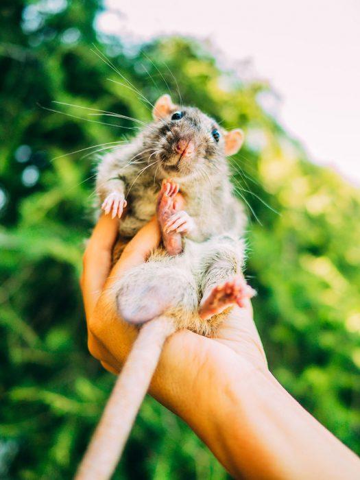 rata gris en mano