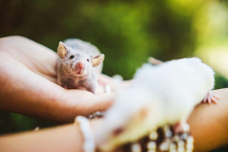 ratita gris en manos
