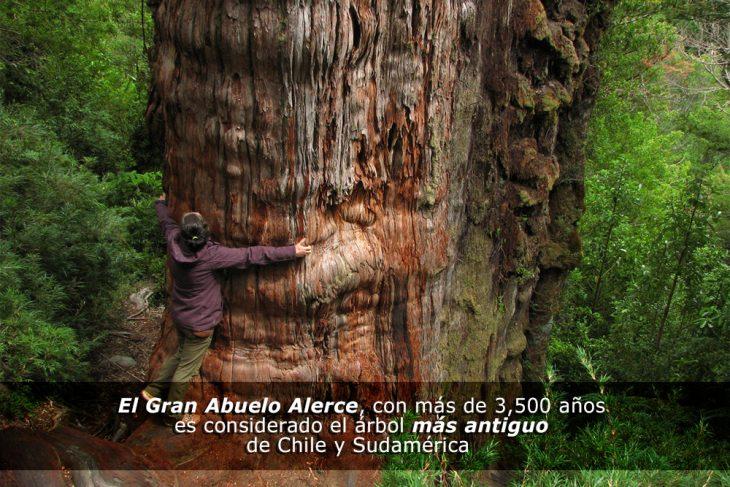 El árbol más viejo de la historia