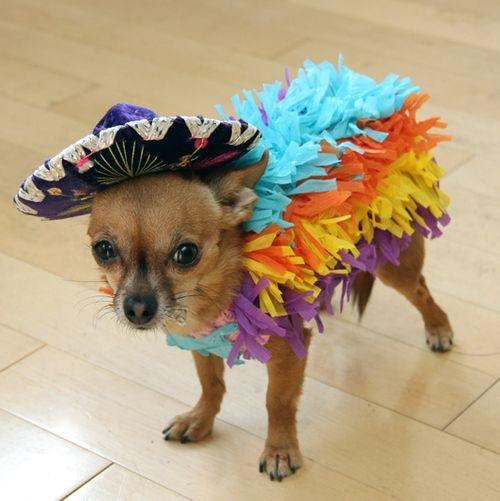 Chihuahua muy mexicano