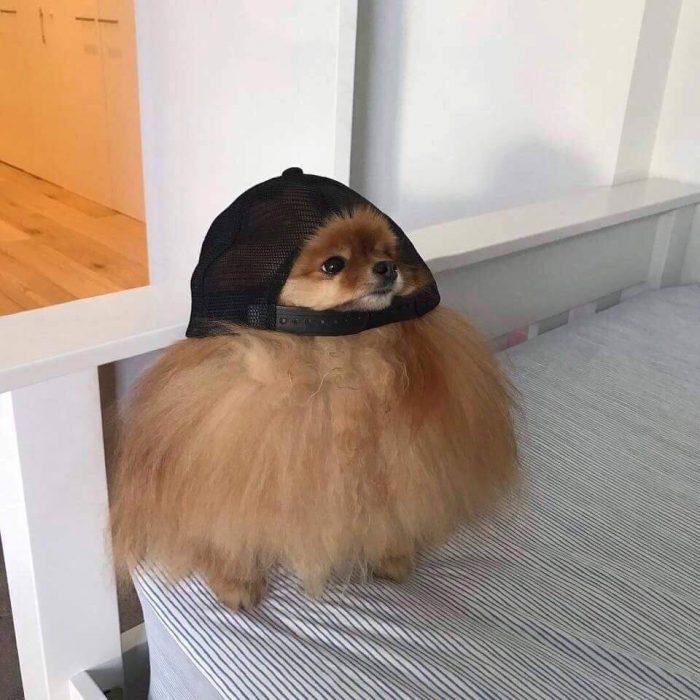 perrito gorra