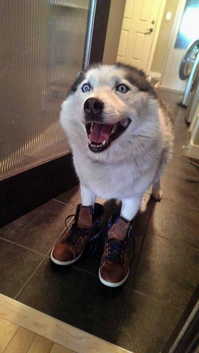 perrito husky botas