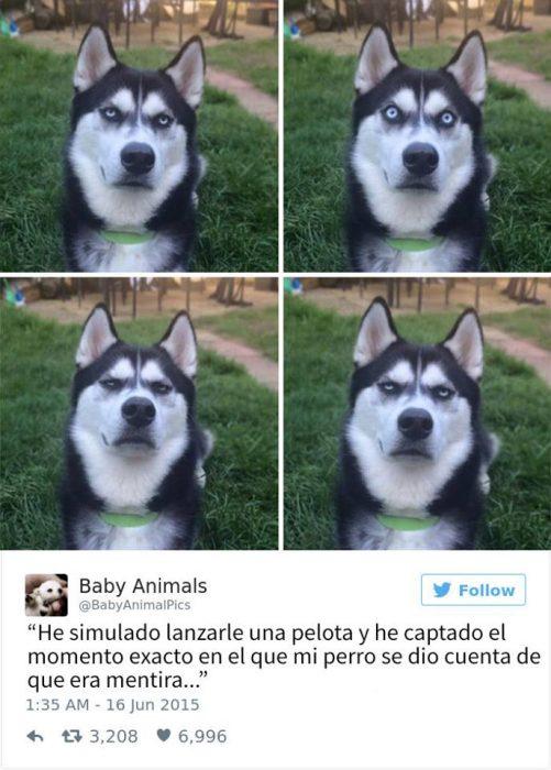 husky perrito