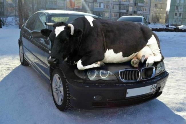 carro vaca