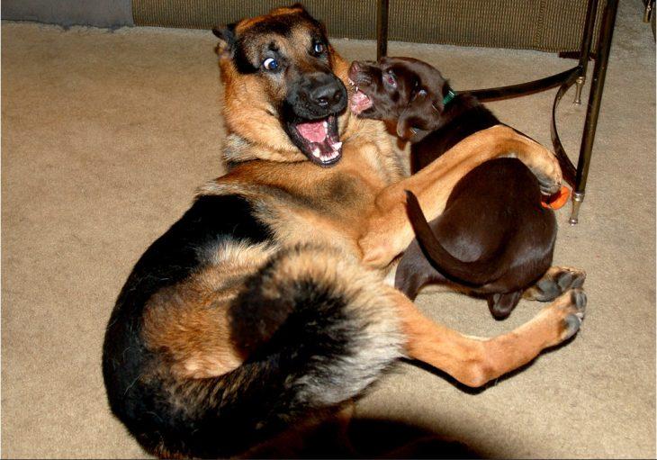pastor y otro perro