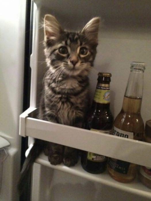 gato refri