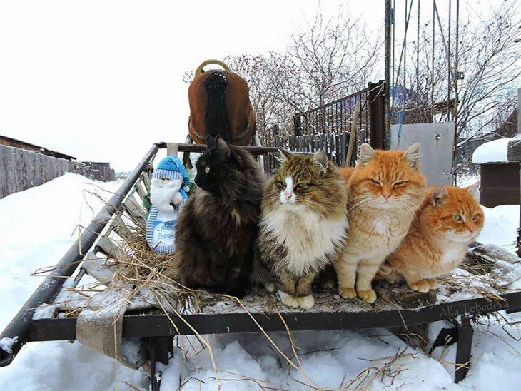 gatos granja