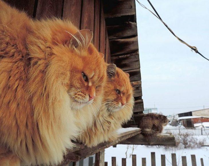 gatos de perfil