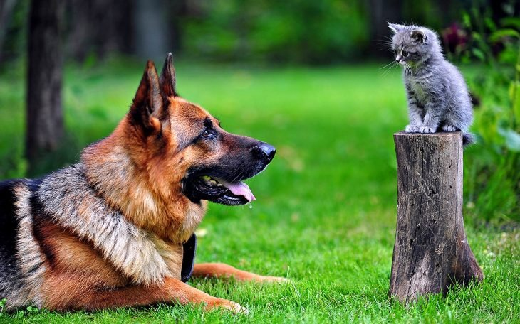 pastor y gato