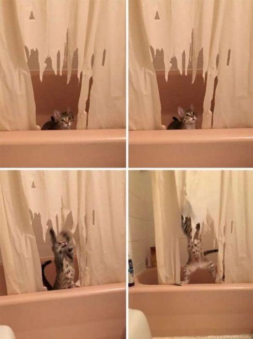 gato cortinas
