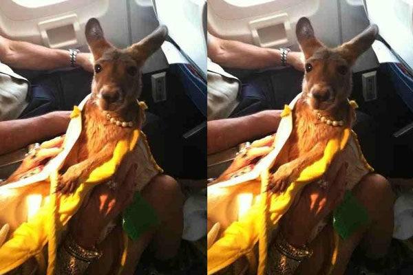 canguro en el avión
