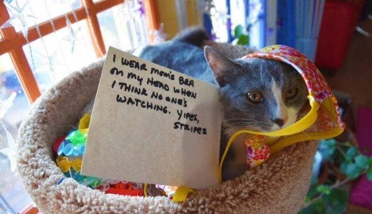 gato brasier