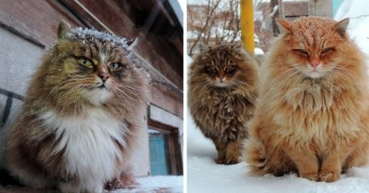 Cover Fotografías de majestuosos gatos siberianos en la nieve