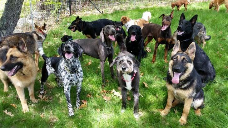 pastor y otros perros