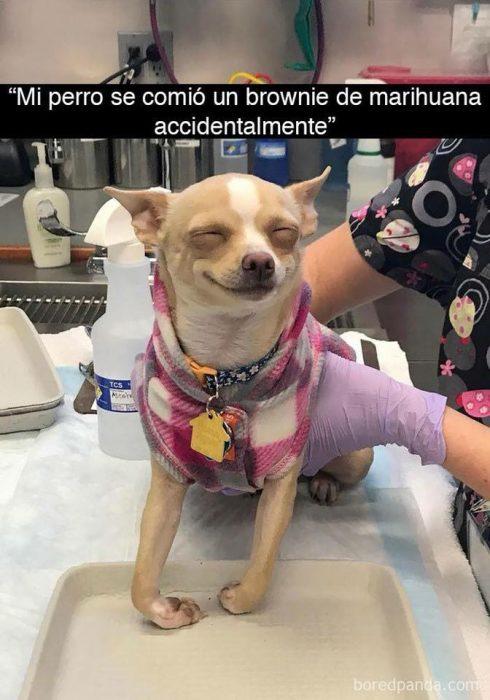 perrita anestesia