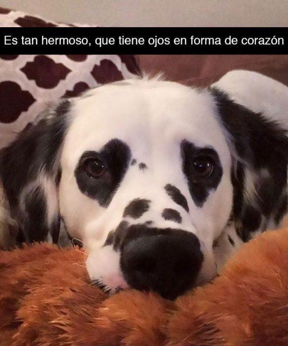 perro dálmata manchas