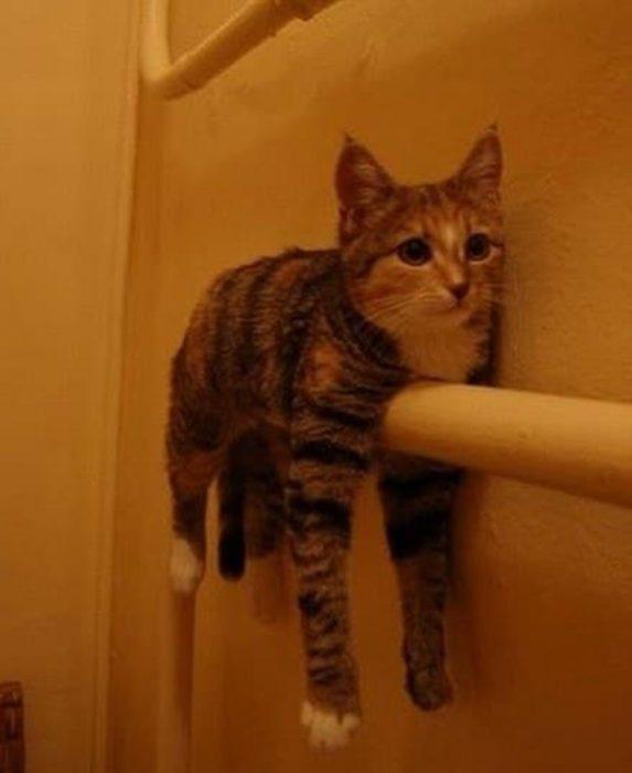 Gato lavado