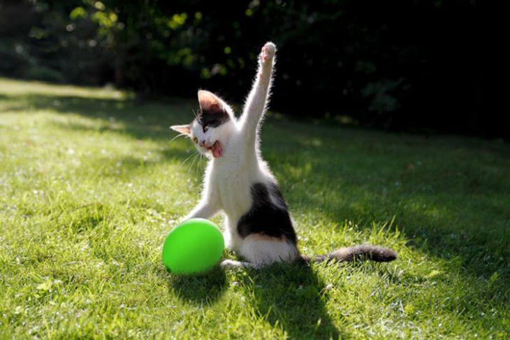 Gato destrcutor