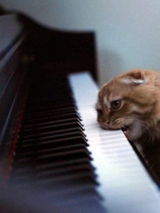 Gato pianista