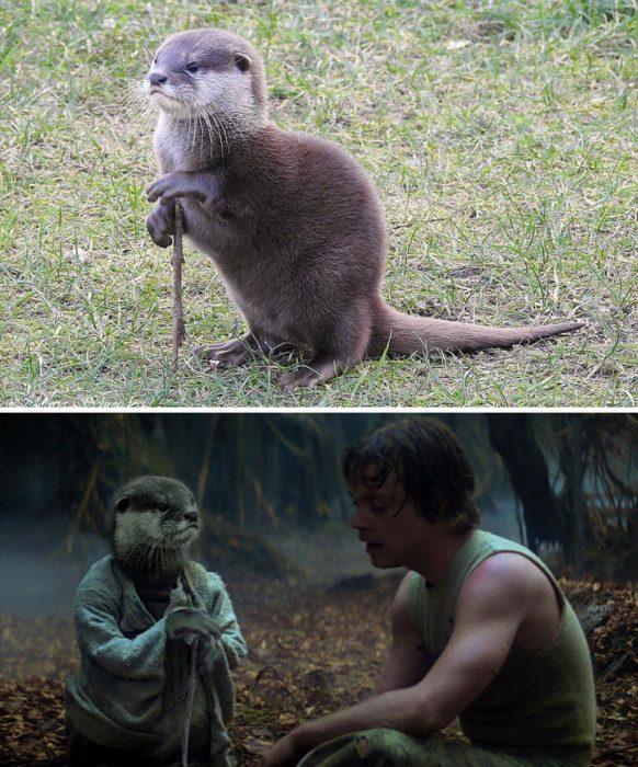 marmota sabia