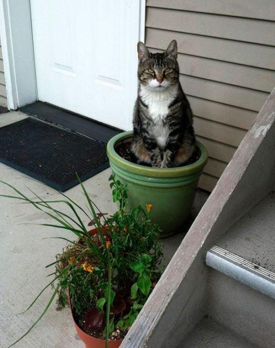 gato planta entrada en la casa