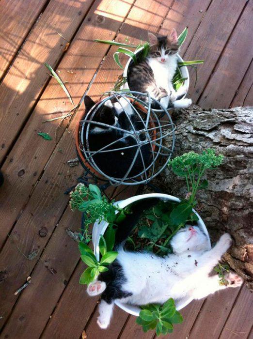 gatos en maceta
