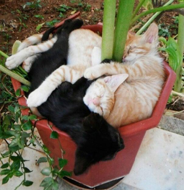 dos gatos grandes maceta