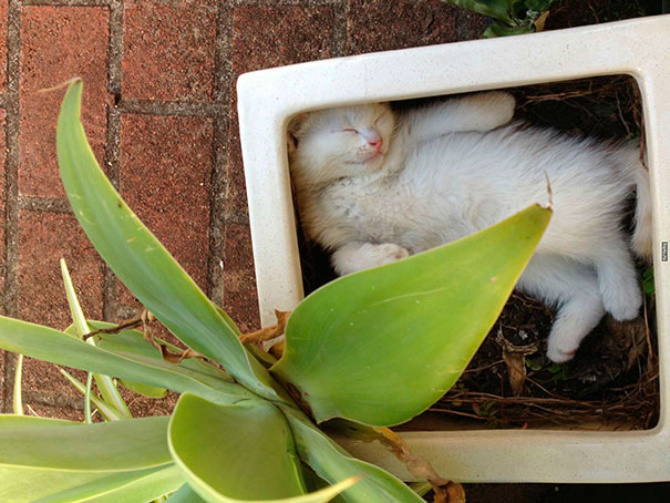 gato blanco dormido en maceta