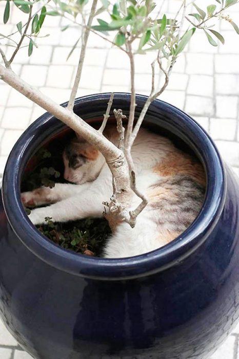 gato acostado en maceta