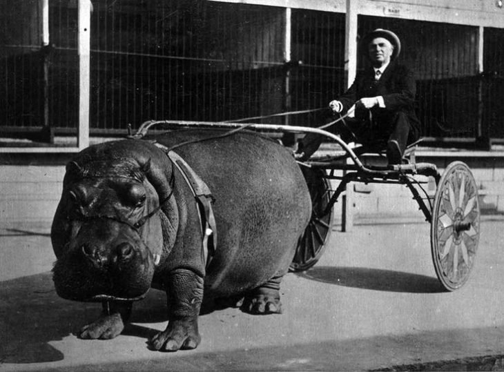 hipopotamos jalando una carreta