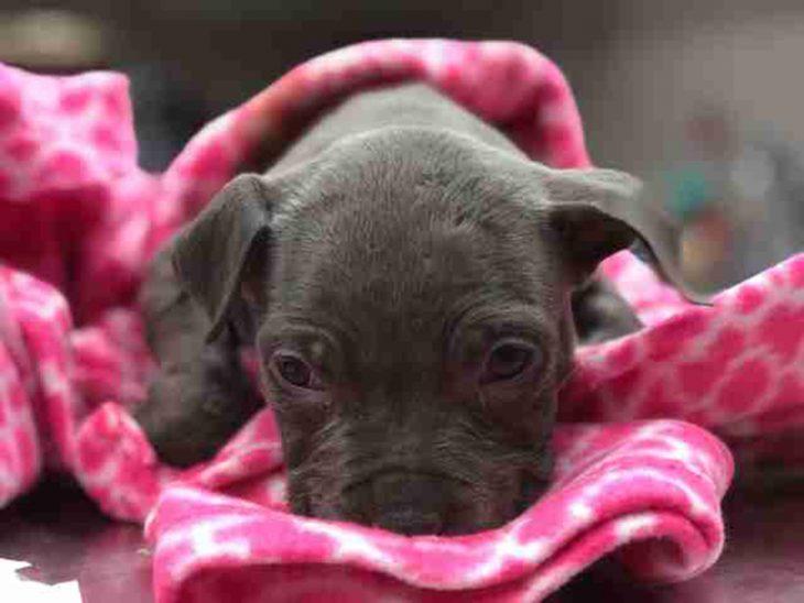 Cachorro pit bull cobija rosa
