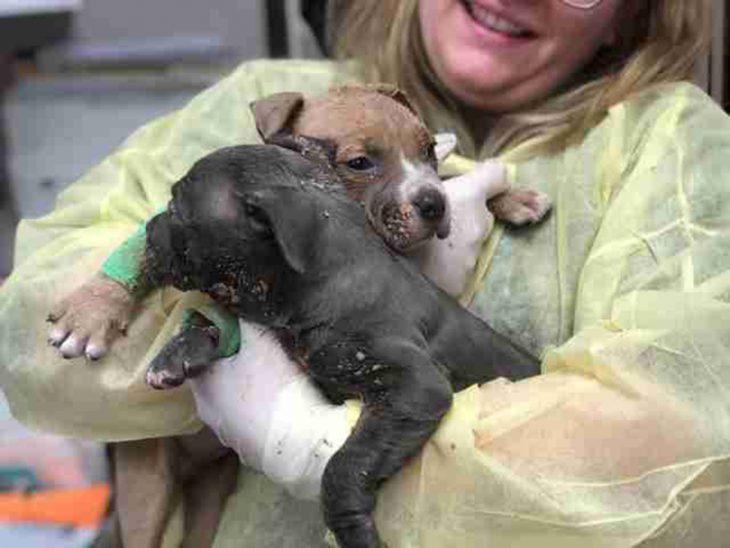 Cachorritos pitbull rescatados