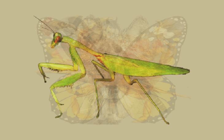 Quéanimalves mantis religiosa