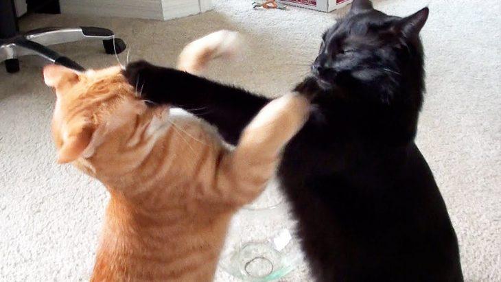 pelea de gatos