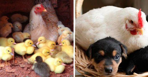 Cover Emplumadas fotografías que demuestran que las gallinas son las mejores madres del reino animal
