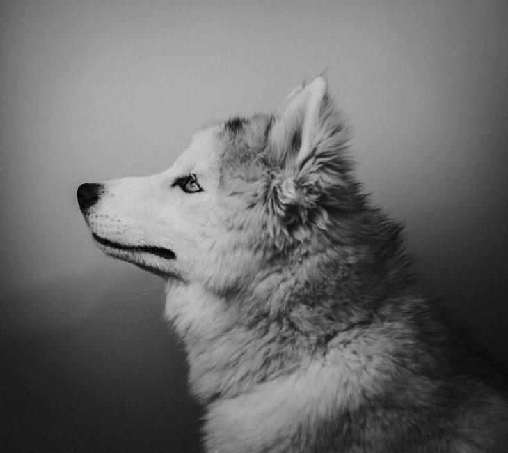 husky peludo