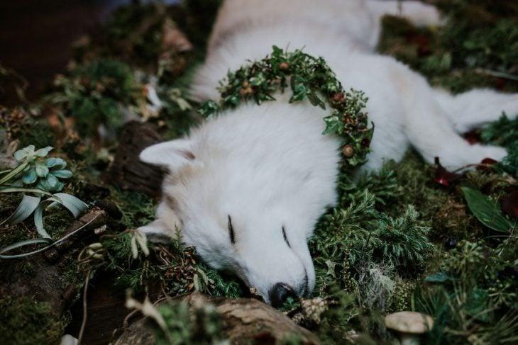 perrito husky fallece