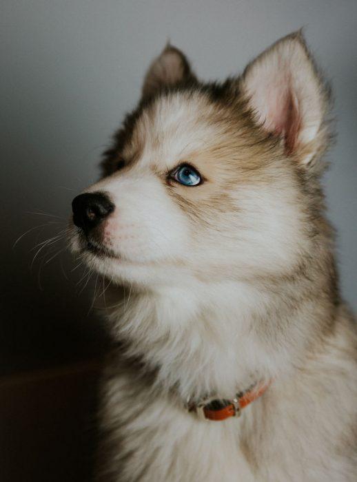 cachorrito husky