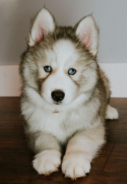 perrito husky murió