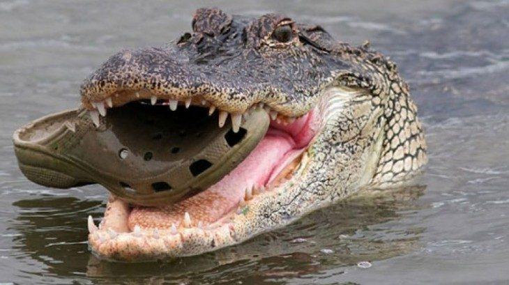 cocodrilo con un zapato en su boca