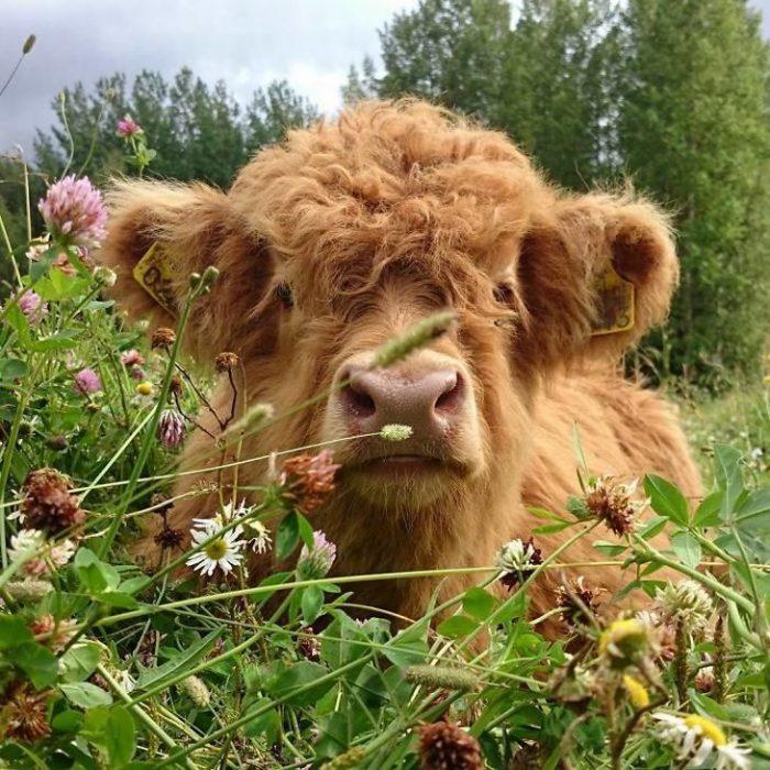 vaca detras de flores