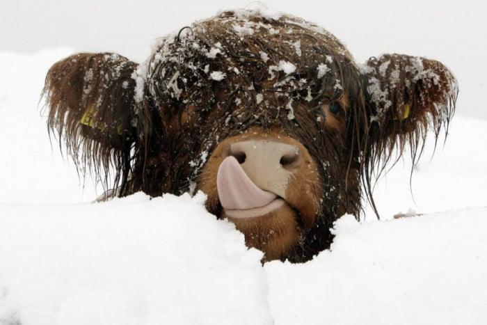 vaca en la nieve sacando la lengua