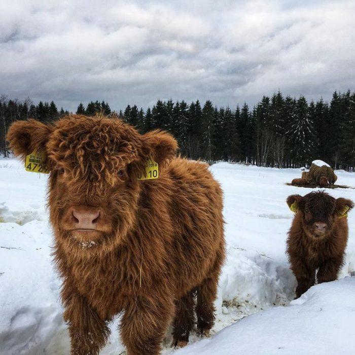 paisaje nevado con vacas