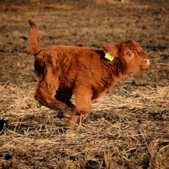 vaca corriendo