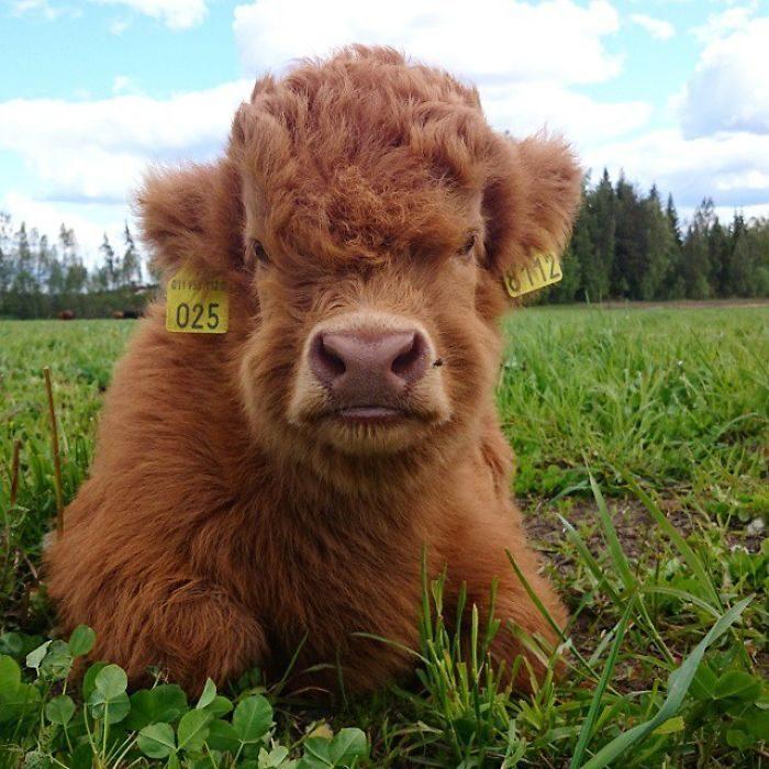 vaca echada en el pasto