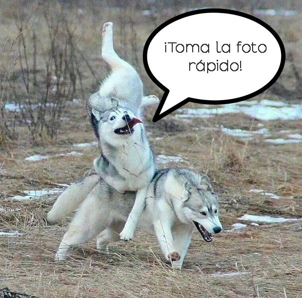 husky tropezando