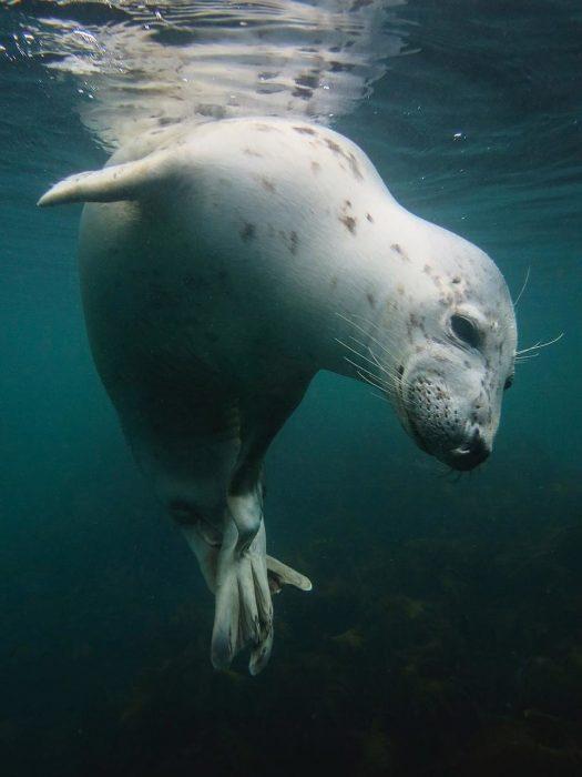 foca bajo el mar