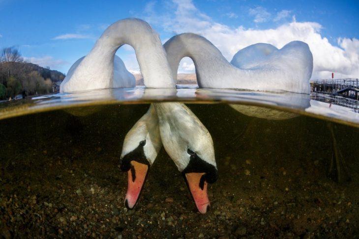cisnes bajo el mar