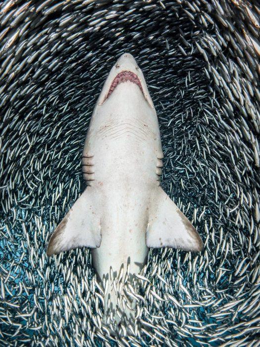 tiburón bajo el mar