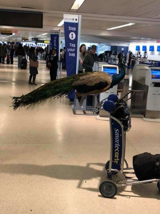 Pavo real listo para abordar avión